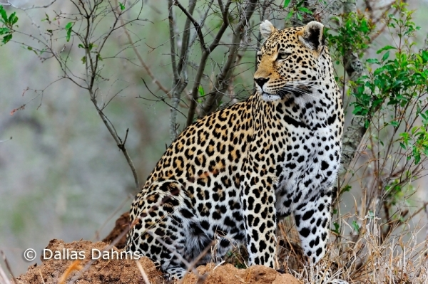Leopard at Sabi Sabi