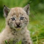 Lynx cub, 5 weeks old. Langedrag, Norway