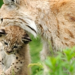 Mother Lynx with cub, Langedrag Norway