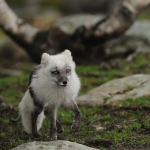 Arctic Fox, Langedrag Norway