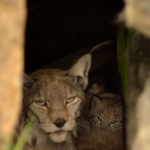 Mother with lynx cubs inside their cave. Langedrag, Norway