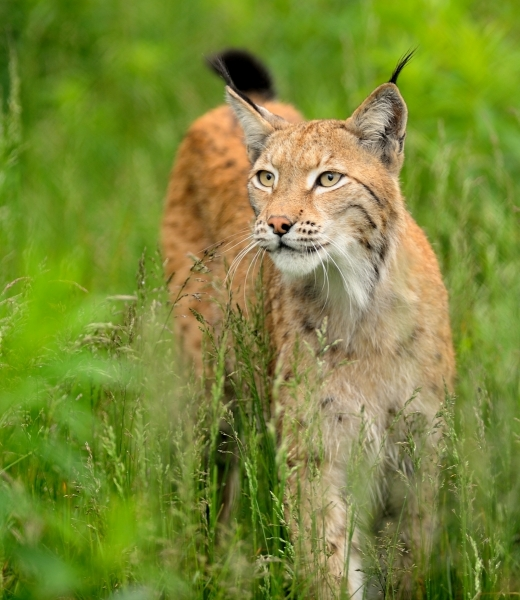Lynx in wet grass