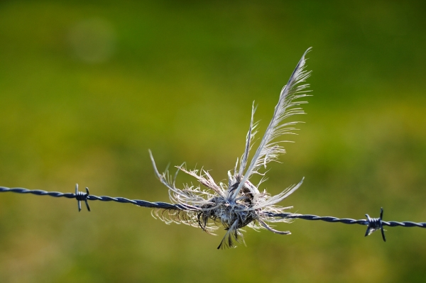 Barbed wire with bird fragment