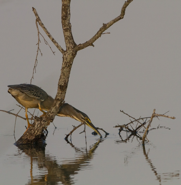 Green Backed Heron Hunting #4