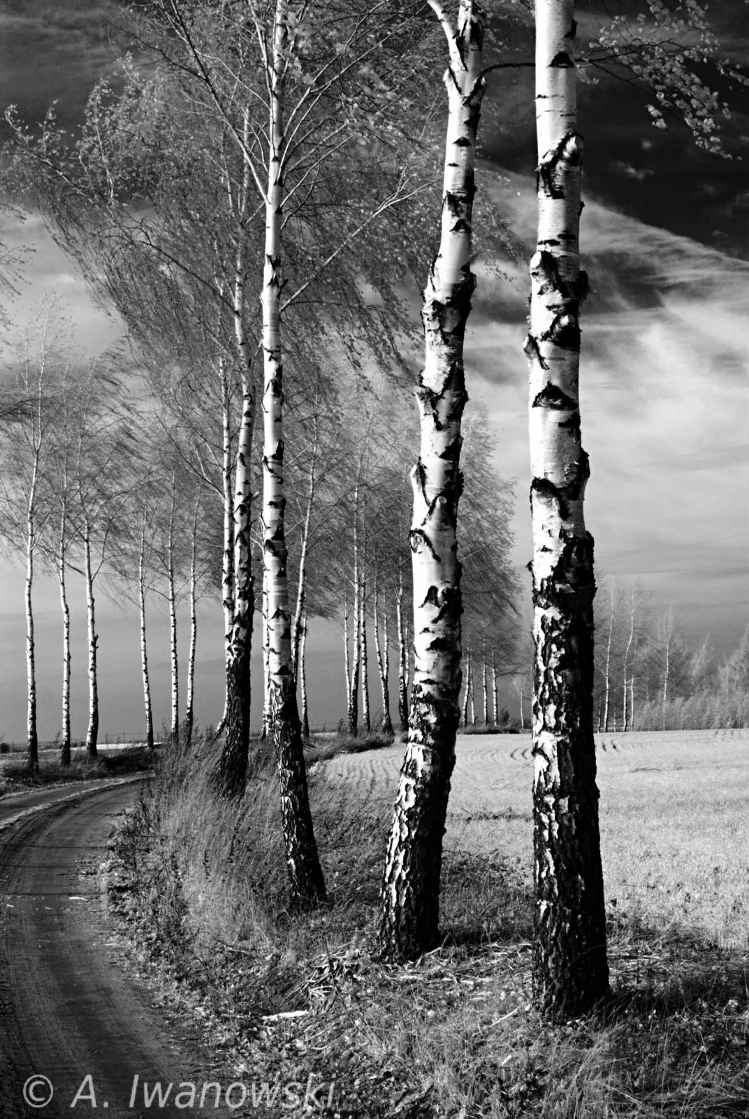 _AND3732 Birches b&w.jpg