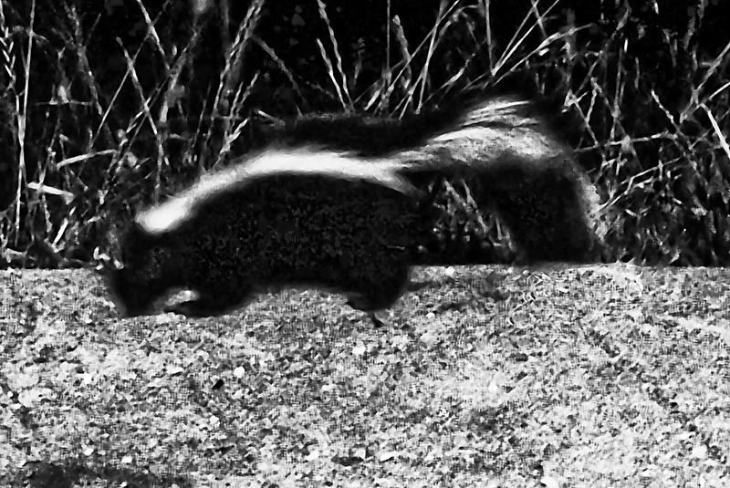 skunk on patioL1090069.jpg
