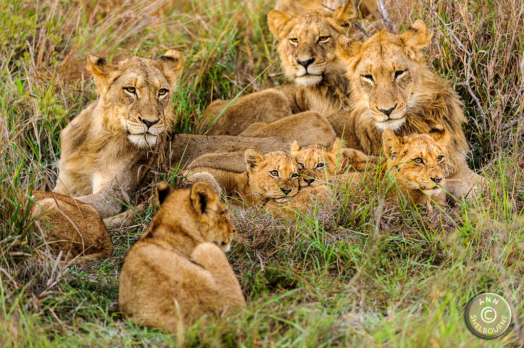 101_ANN5088-Lion-family.jpg