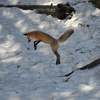 Yellowstone Fox Hunting