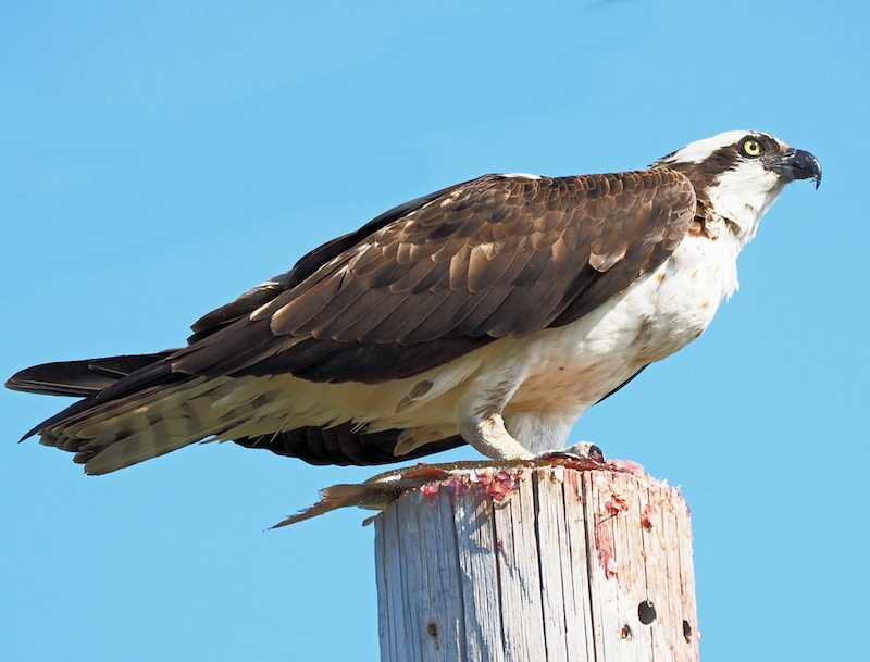 Osprey having a snack