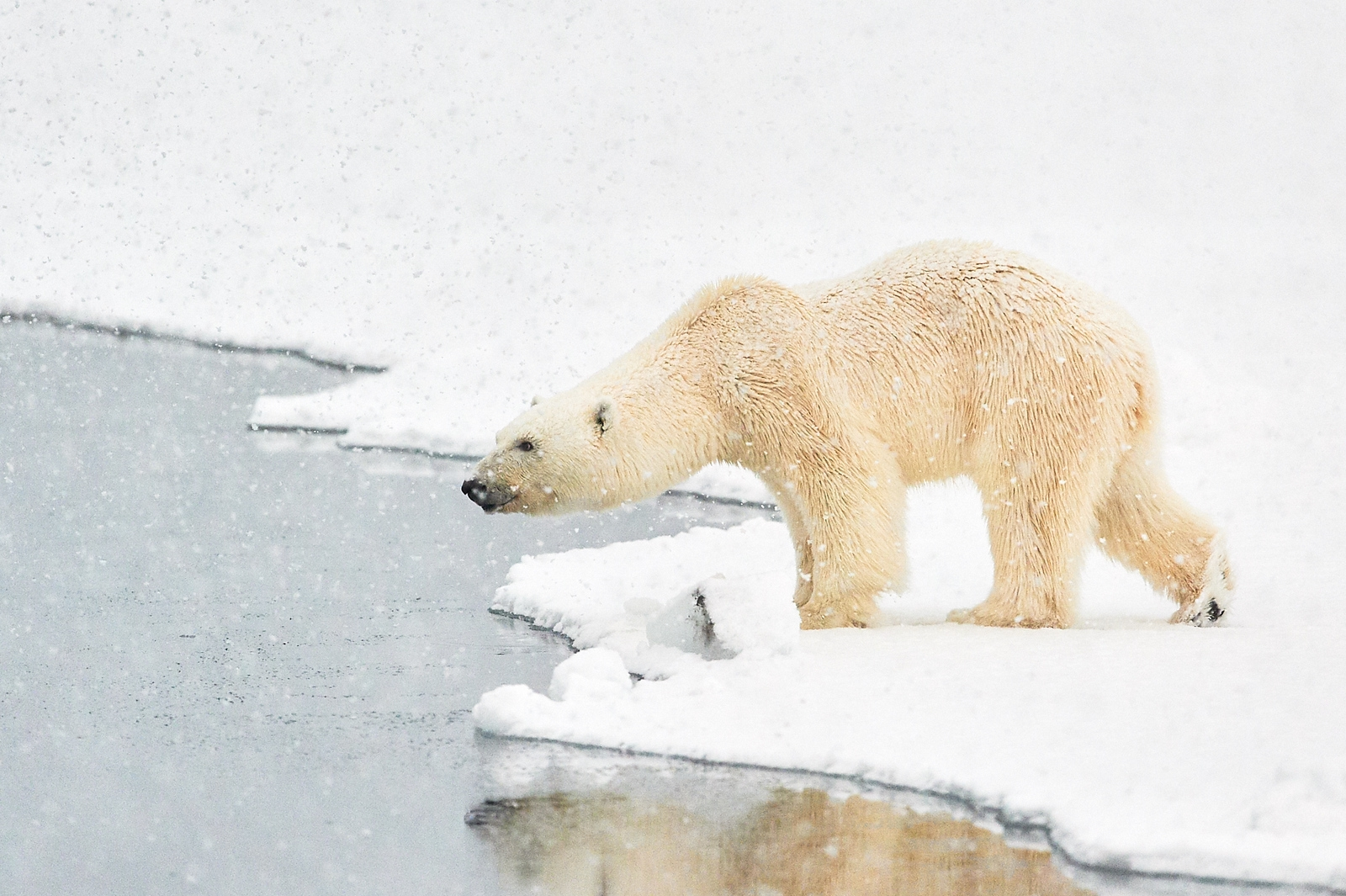 Polar Bears of Svalbard in Winter (6 images)