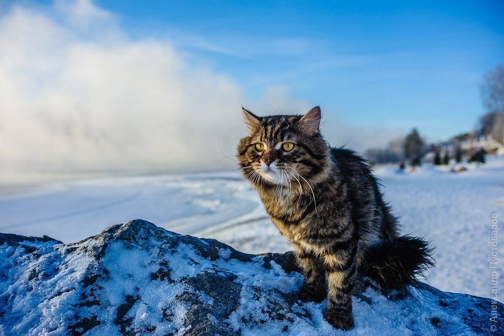 Cat Frost Filimon - Siberian