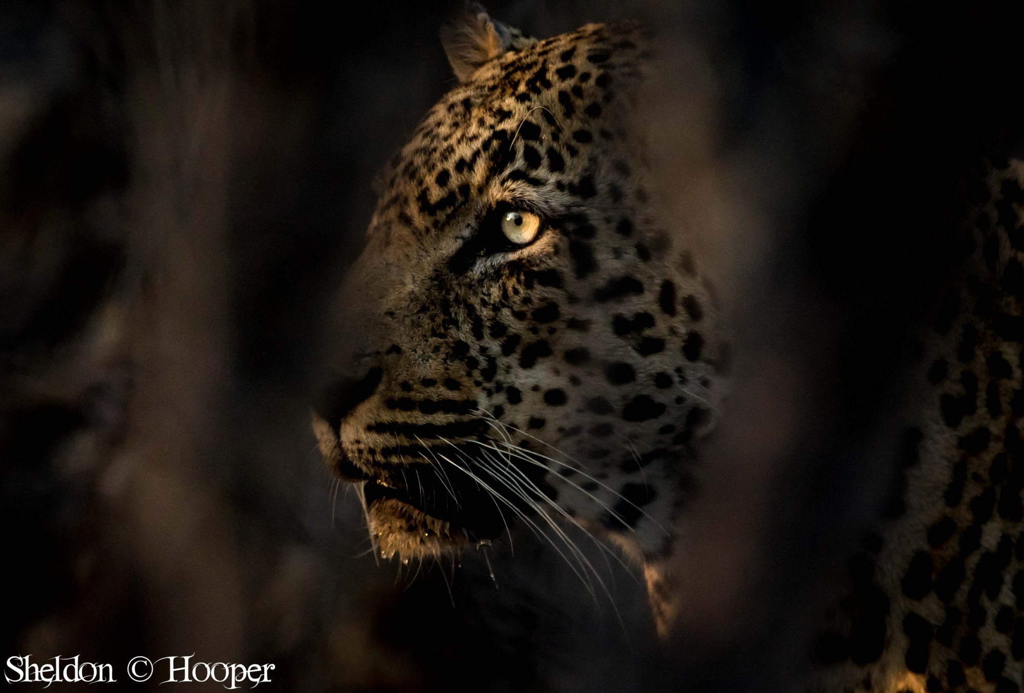 Morning peek Male Leopard.jpg
