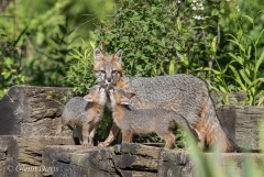 gray fox with pups-4207.jpg