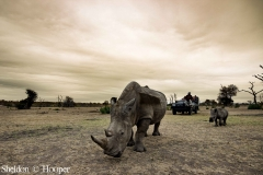 The Golden age of Rhinos.jpg