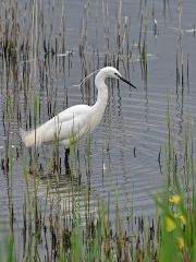 Egret At Conwy RSPB Reserve