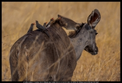 Kudu with Oxpeckers