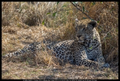 Sandriver the Leopard