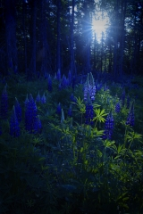 North Woods Lupines