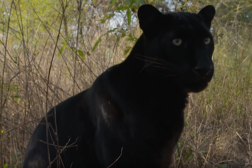 The Lion Whisperer & His Black Leopards