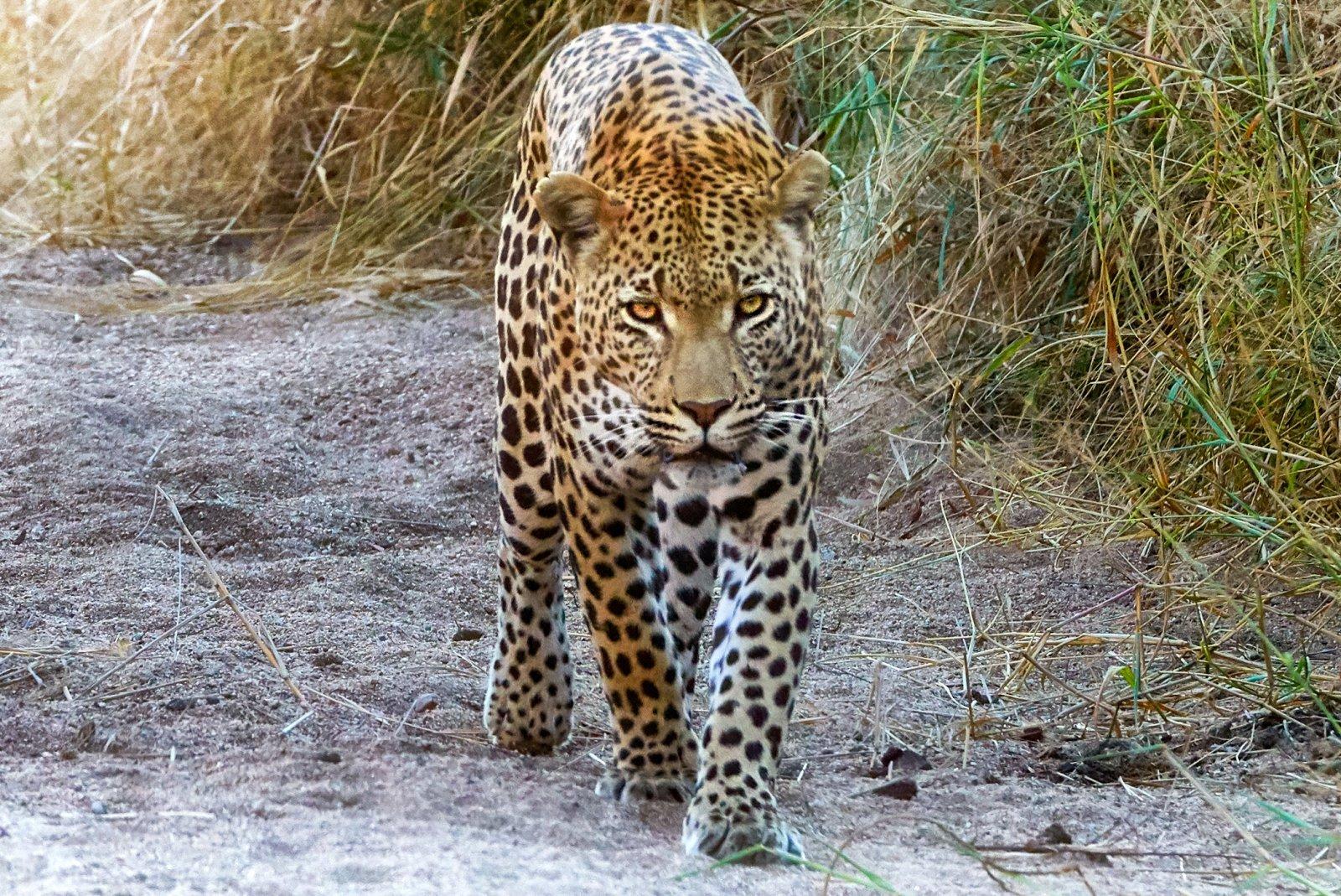 leopard7 copy.jpg