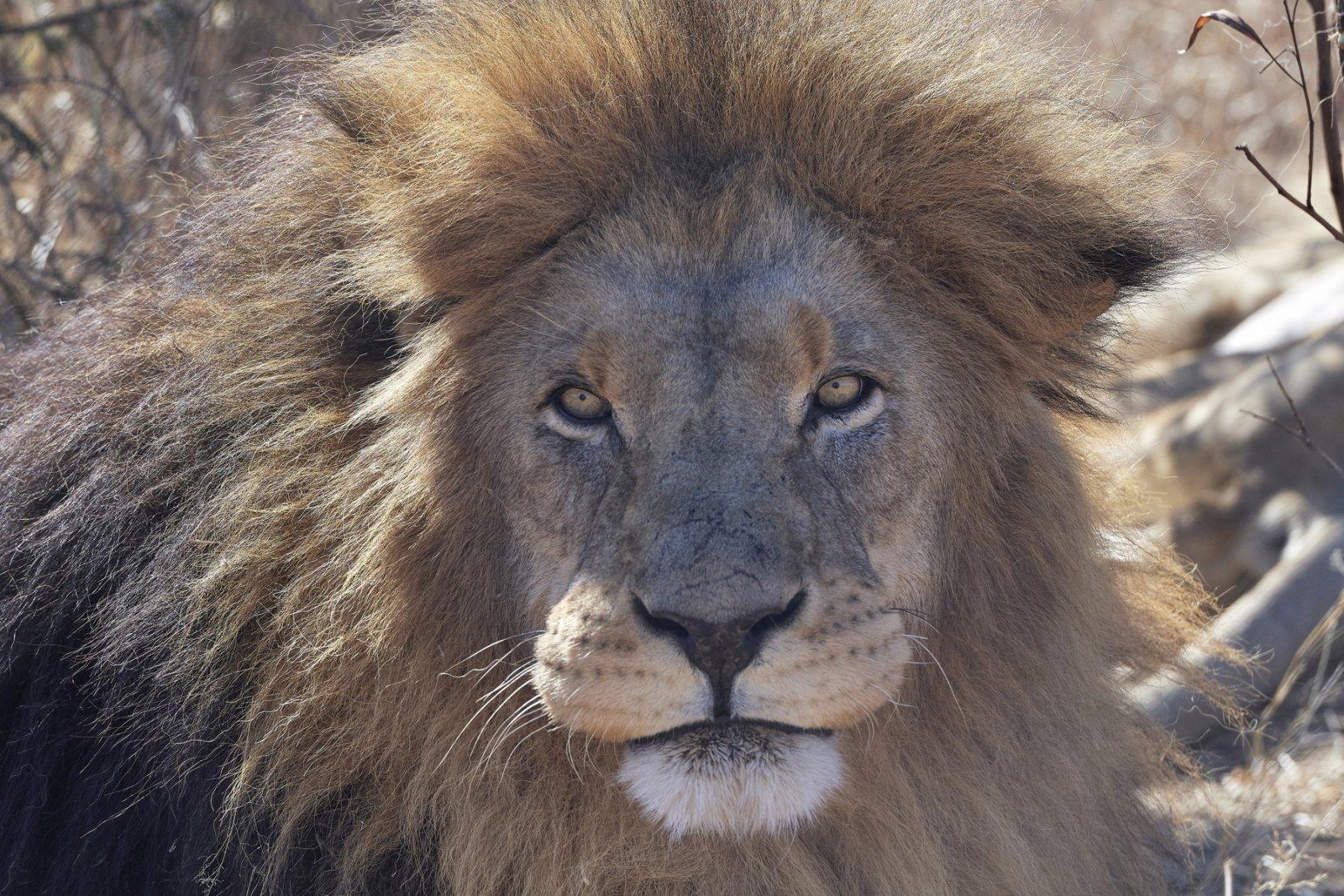Lion1.thumb.jpg.f219b36ae6cfa78e06addbc274a8fc94.jpg