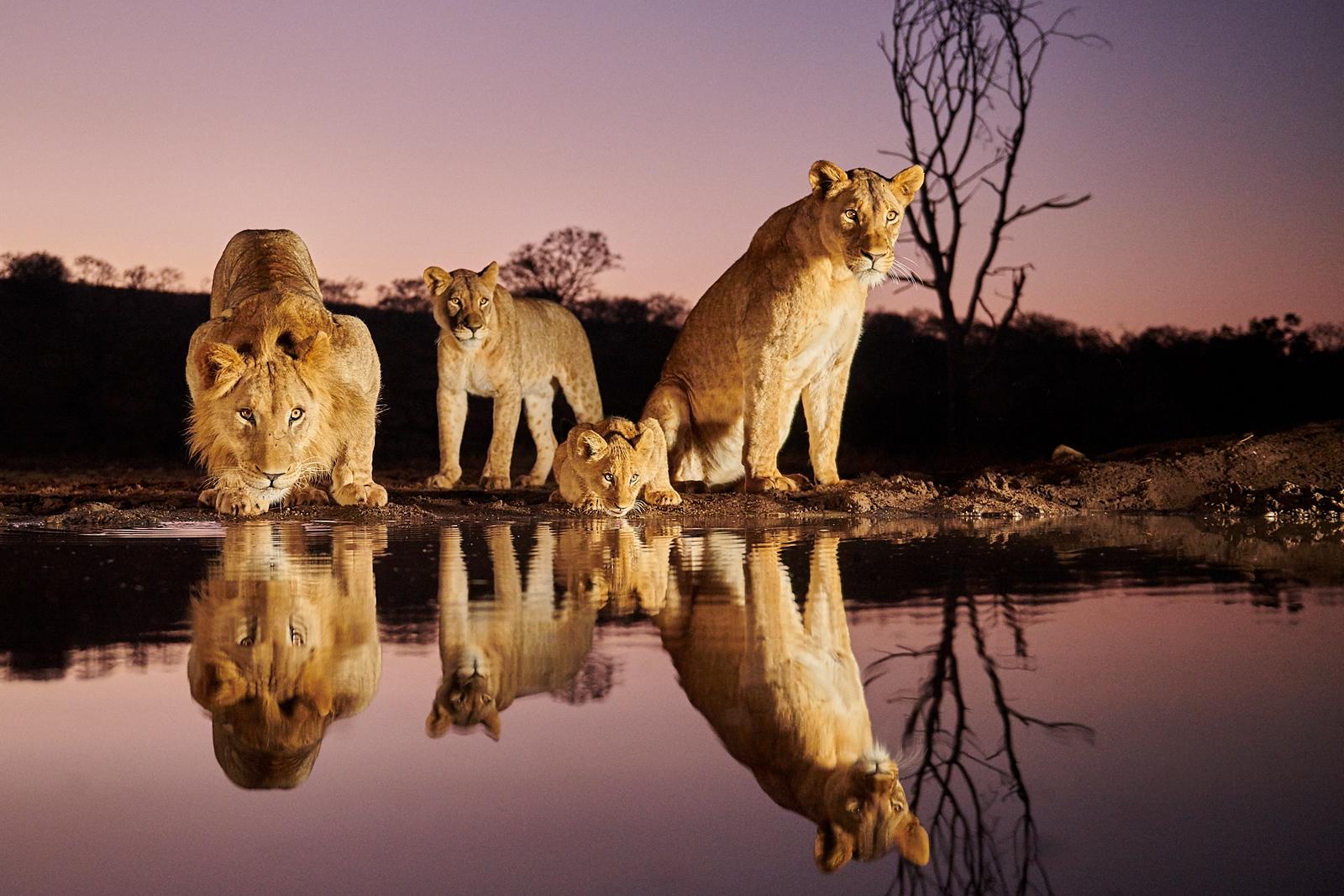 Lions - Night