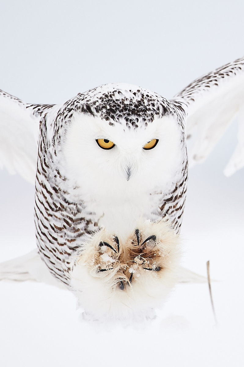 Some Snowy Owls