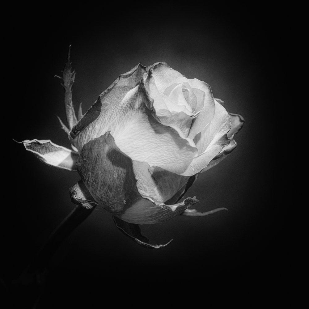 Tatty Rose.jpg