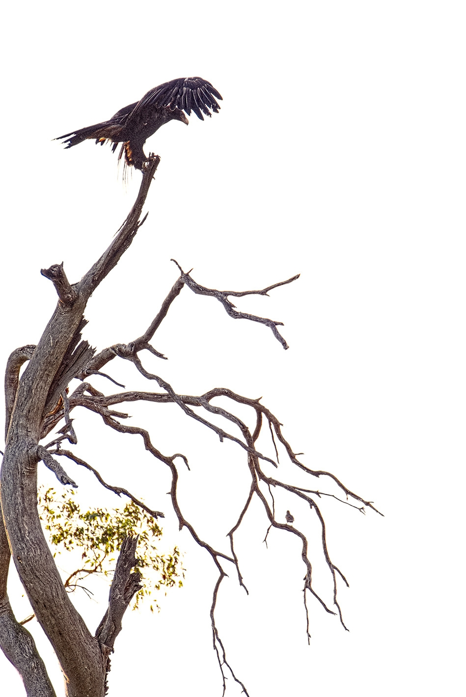 Tasmanian Wedge-Tailed Eagles