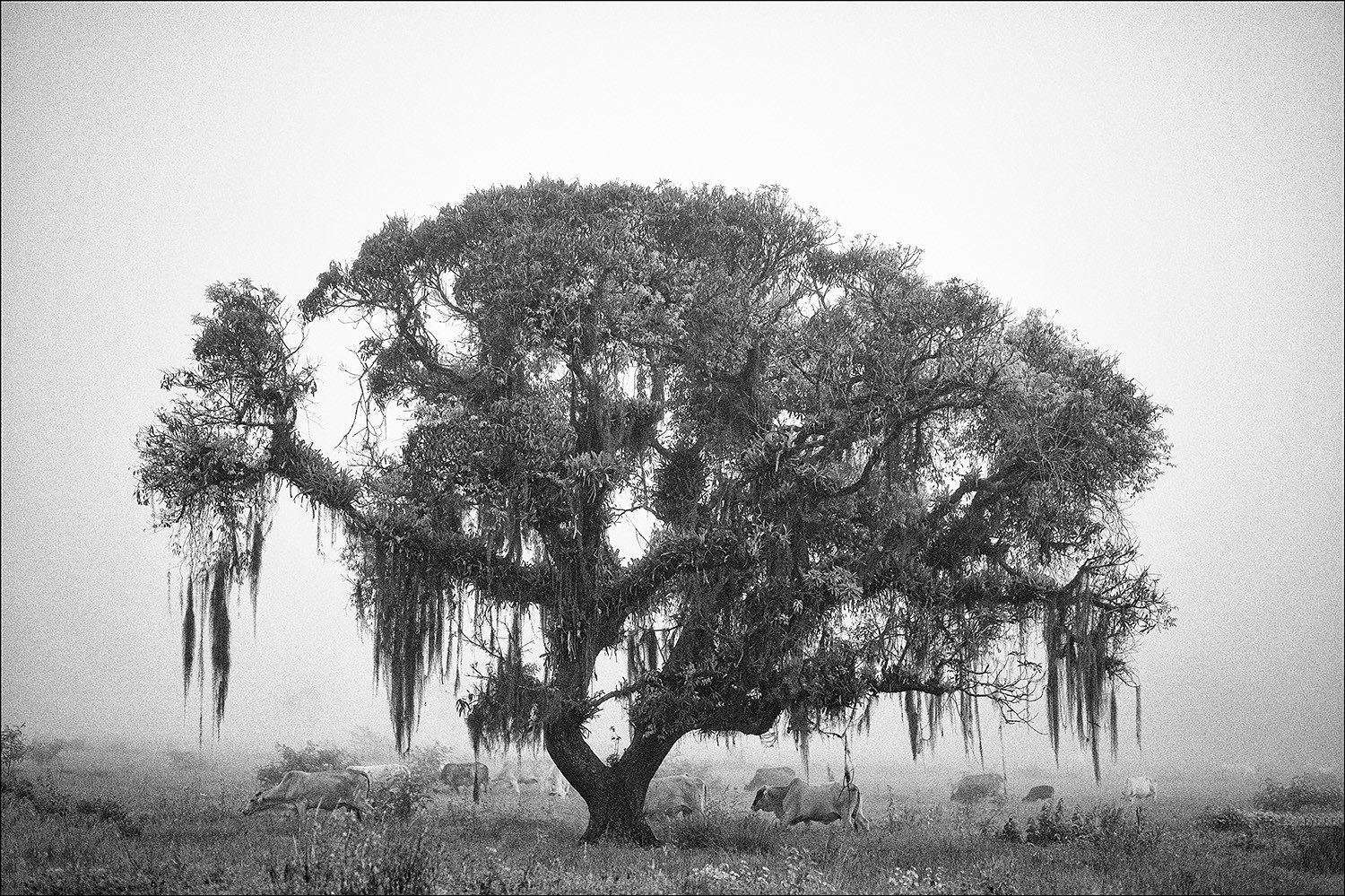 Tree, oxen and fog